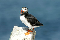 Atlantic Puffin - New Brunswick