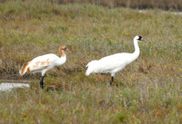 Whooping Crane (adult and juv.) - Texas