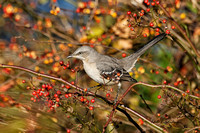 Northern Mockingbird - Maine