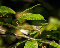 Red-eyed Vireo - Maine