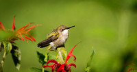Ruby - throated Hummingbird (f) - Maine