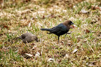 Brown-headed Cowbird - Maine
