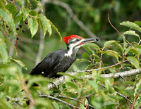 PIleated Woodpecker - Maine