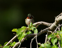 Ruby-throated Hummingbird - Maine