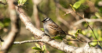 White-crowned Sparrow - Maine