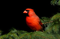 Northern Cardinal - Maine
