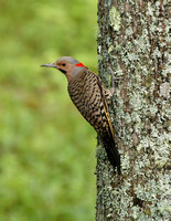 Northern Flicker - Maine
