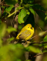 Yellow Warbler - Maine