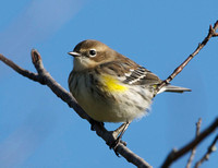 Yellow-rumped Warbler (j) - Maine