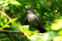 Gray Catbird - Maine