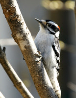 Downy Woodpecker - Maine