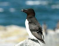 Razorbill - New Brunswick