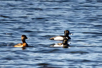 Ring-necked Duck - Maine