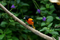 Baltimore Oriole - Costa Rica