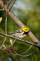Black-throated Green Warbler - Maine