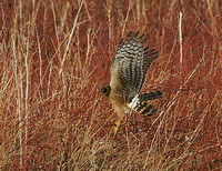 Northern Harrier - New Mexico