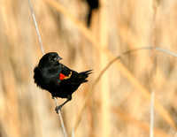 Red-winged Blackbird - Texas