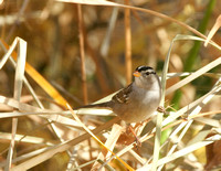 White-crowned Sparrow - New Mexico