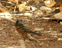 Spotted Towhee - New Mexico