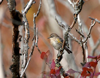 Yellow-rumped Warbler - Maine