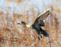 Northern Pintail - New Mexico