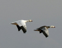 Snow Goose - New Mexico