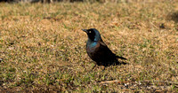 Common Grackle - Maine