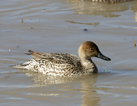 Northern Pintail f - New Mexico