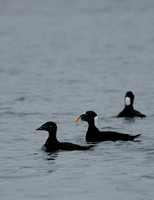 Surf Scoter - Maine