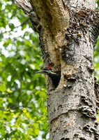 Pileated Woodpecker (imm. f) - Maine
